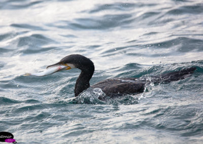 cormorán grande (Phalacrocorax carbo)_DS_1440