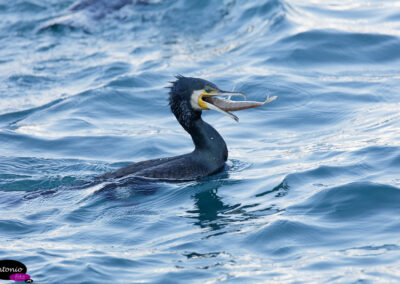 cormorán grande (Phalacrocorax carbo)​-2627