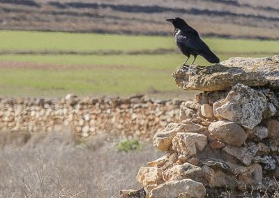 cuervo grande (Corvus corax)-4965