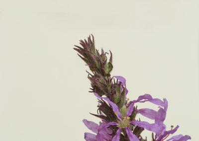 arroyuela (Lythrum salicaria) stacking 01