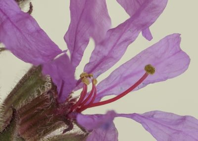 arroyuela (Lythrum salicaria) stacking4