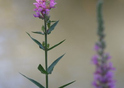 arroyuela (Lythrum salicaria)_MG_3062