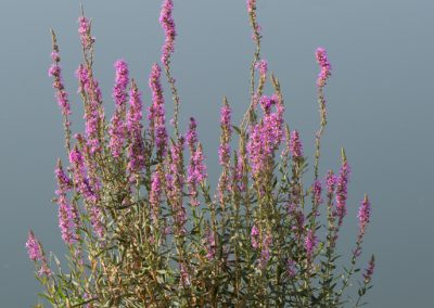 arroyuela (Lythrum salicaria)_MG_6021