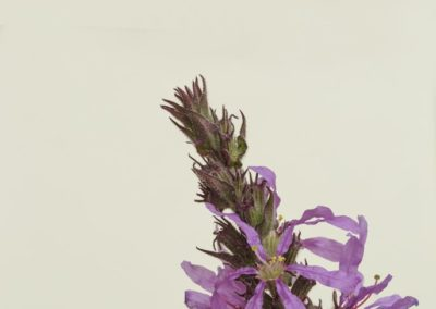 arroyuela-Lythrum-salicaria-stacking-01-686x1030