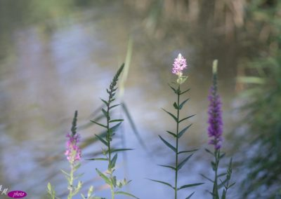 arroyuela-Lythrum-salicaria_MG_3068-1030x687