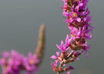 arroyuela-Lythrum-salicaria_MG_5984-687x1030