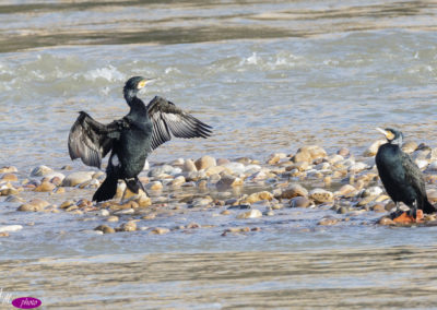 cormorán grande (Phalacrocorax carbo)-2821