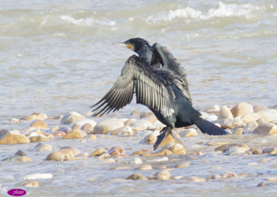cormorán grande (Phalacrocorax carbo)-2827
