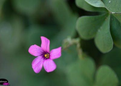 vinagrillo-rosado-Oxalis-articulata_E2A3604