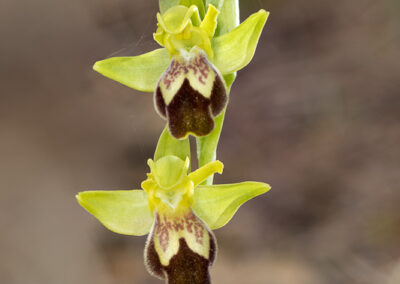 Ophrys lupercalis_Ophrys lupercalis_de8